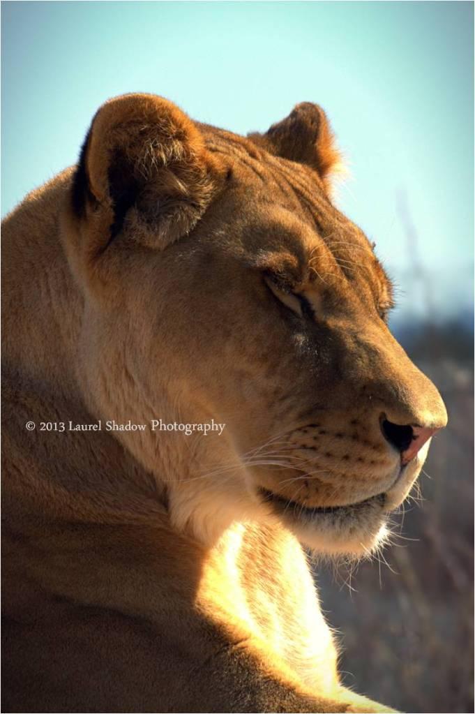 Lioness w LSP