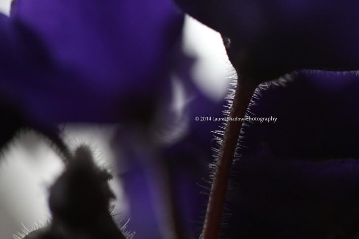 violetstemlsp
