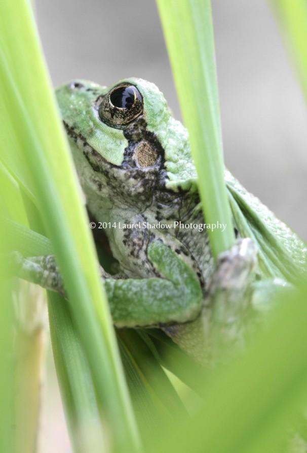 froglsp
