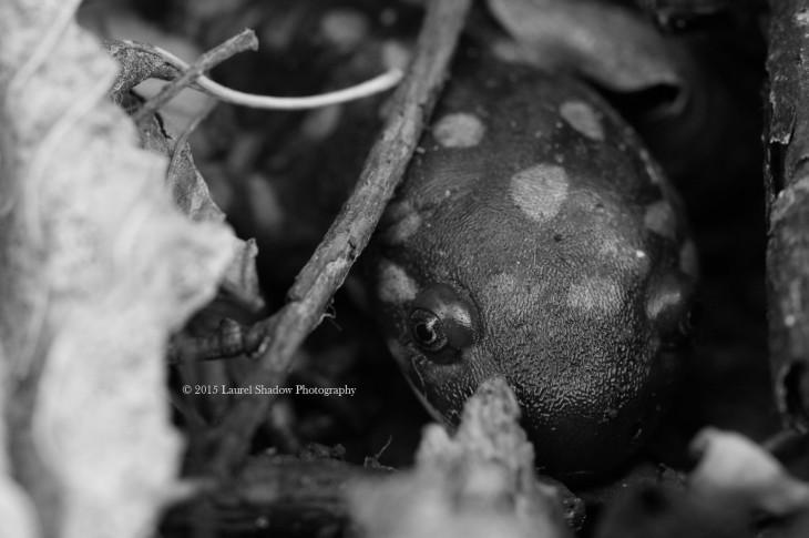 lsp salmander